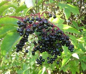src: elderberryjuice.net